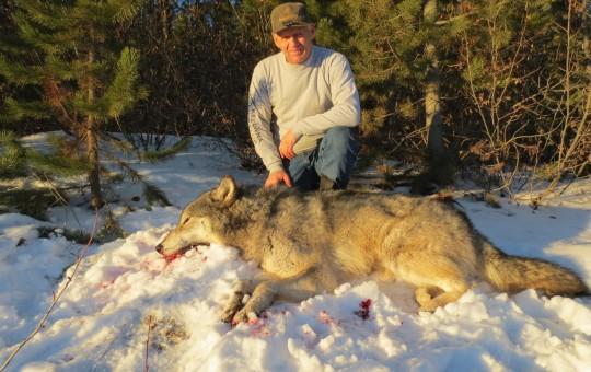 Predator Hunts (Cougar, Lynx, Wolf)